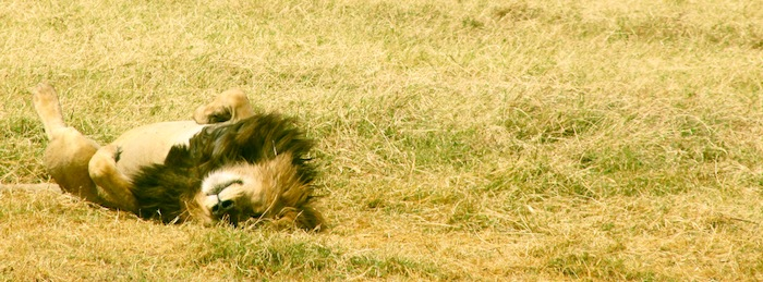 lion rolling in grass