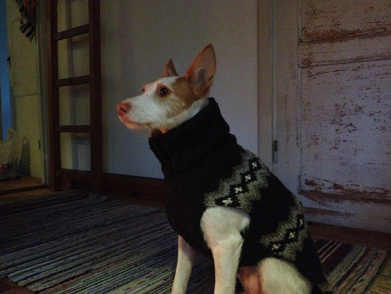 A dog named Apple in a sweater