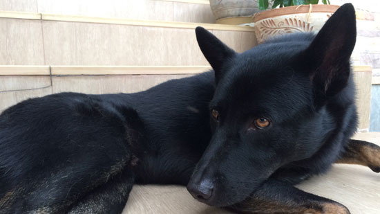 Image contains a photo of a medium-sized black dog. The dog is laying down on light coloured tile with his head rested on his front paws, He is looking to the left.